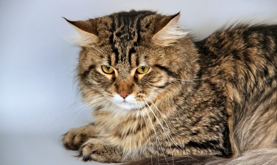 Furry friends! How to groom your Siberian cat?