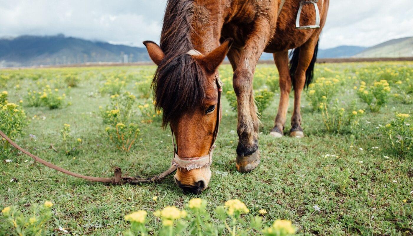 CBD and Horses